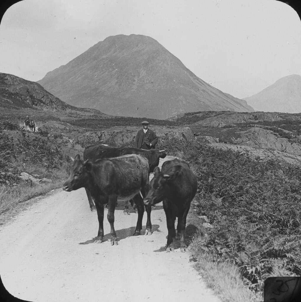 L118-Cattle-Great-Gable-near-Wastwater